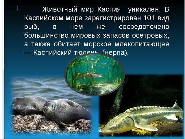 Животный мир Каспия уникален. В Каспийском море зарегистрирован 101 вид рыб,...