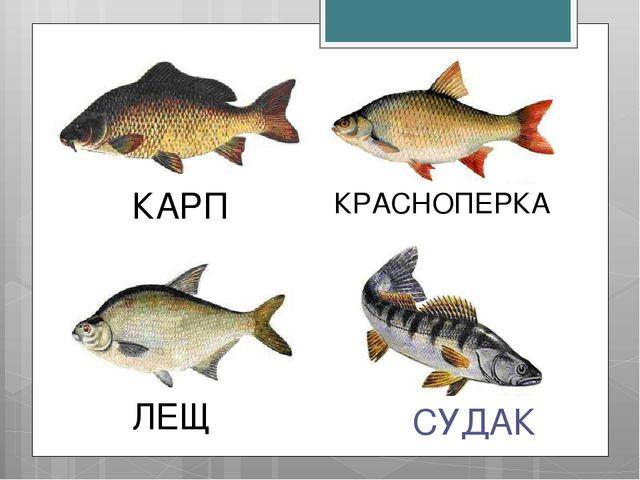 СУДАК КРАСНОПЕРКА ЛЕЩ КАРП