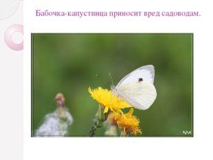 Бабочка-капустница приносит вред садоводам.