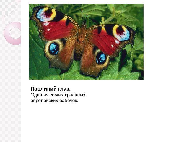 Павлиний глаз. Одна из самых красивых европейских бабочек.