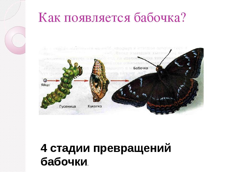 Как появляется бабочка? 4 стадии превращений бабочки.