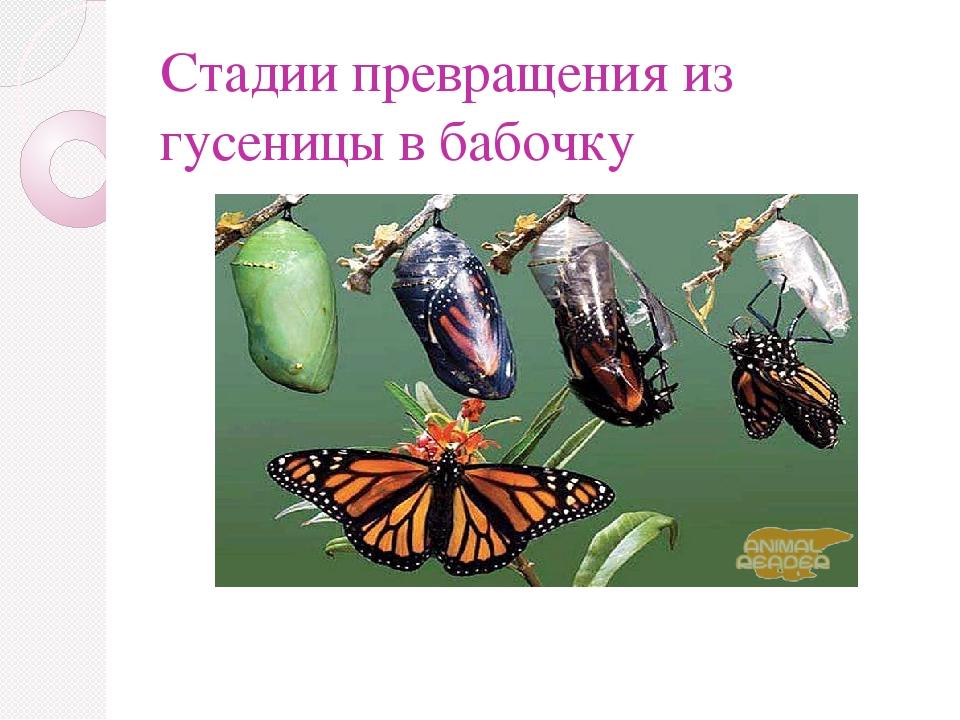 Стадии превращения из гусеницы в бабочку