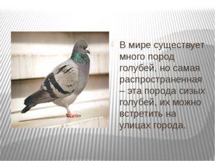 В мире существует много пород голубей, но самая распространенная – эта пород