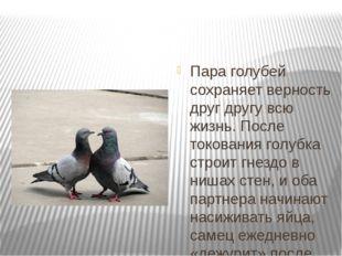 Пара голубей сохраняет верность друг другу всю жизнь. После токования голубк