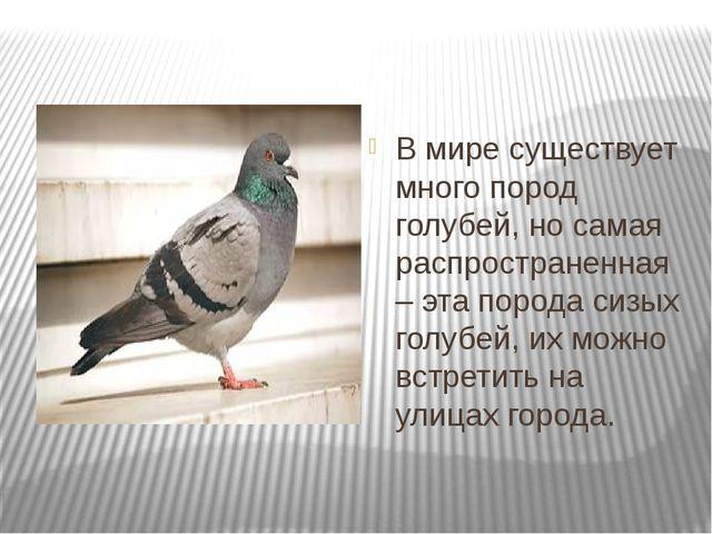 В мире существует много пород голубей, но самая распространенная – эта пород...