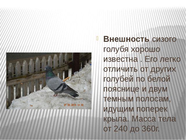 Внешностьсизого голубя хорошо известна. Его легко отличить от других голуб...