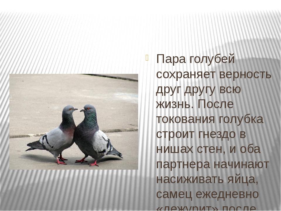 Пара голубей сохраняет верность друг другу всю жизнь. После токования голубк...