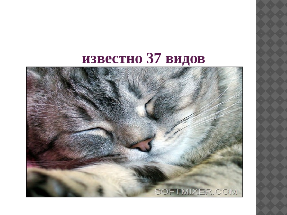 известно 37 видов кошачьих
