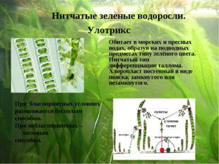 Нитчатые зеленые водоросли. Улотрикс При благоприятных условиях размножается