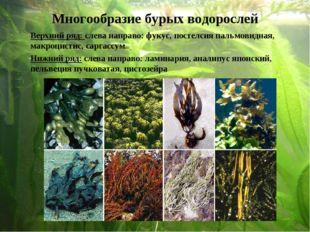 Верхний ряд: слева направо: фукус, постелсия пальмовидная, макроцистис, сарг