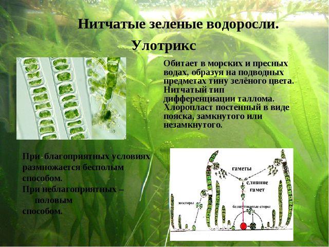 Нитчатые зеленые водоросли. Улотрикс При благоприятных условиях размножается...