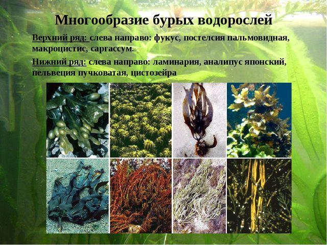 Верхний ряд: слева направо: фукус, постелсия пальмовидная, макроцистис, сарг...