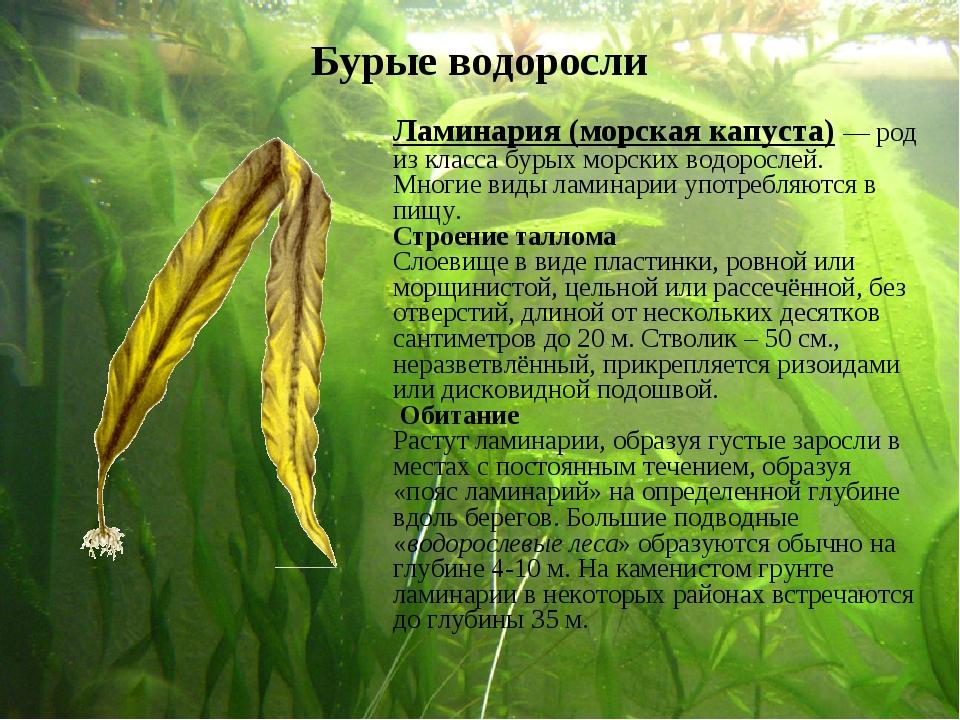 Ламинария (морская капуста)— род из класса бурых морских водорослей. Многие...