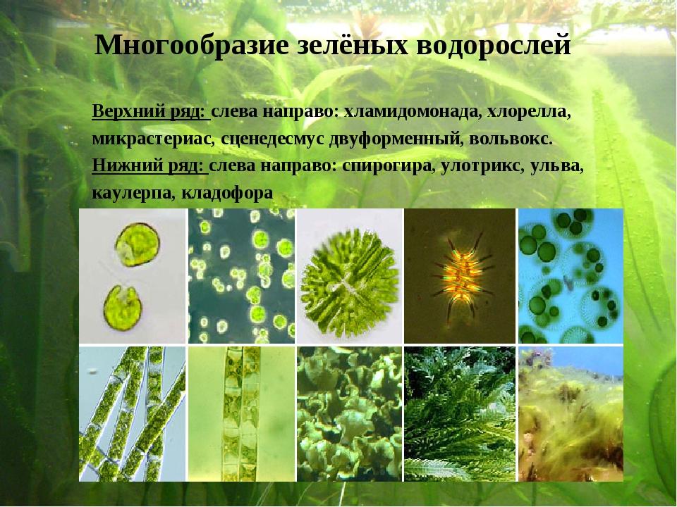 Верхний ряд: слева направо: хламидомонада, хлорелла, микрастериас, сценедес...