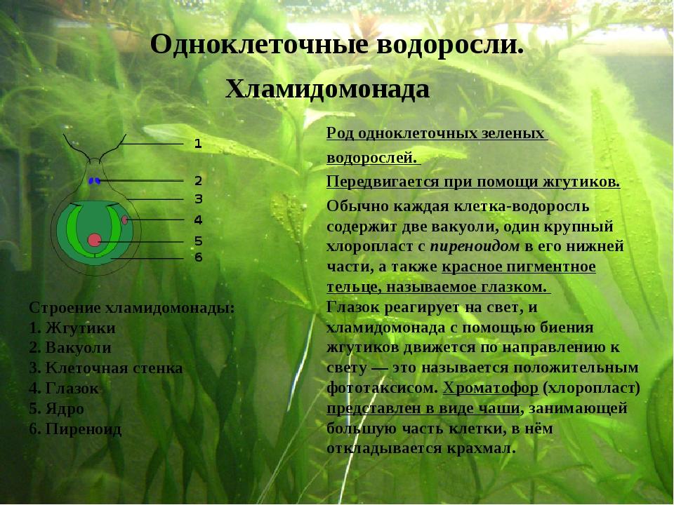 Род одноклеточных зеленых водорослей. Передвигается при помощи жгутиков. Стро...