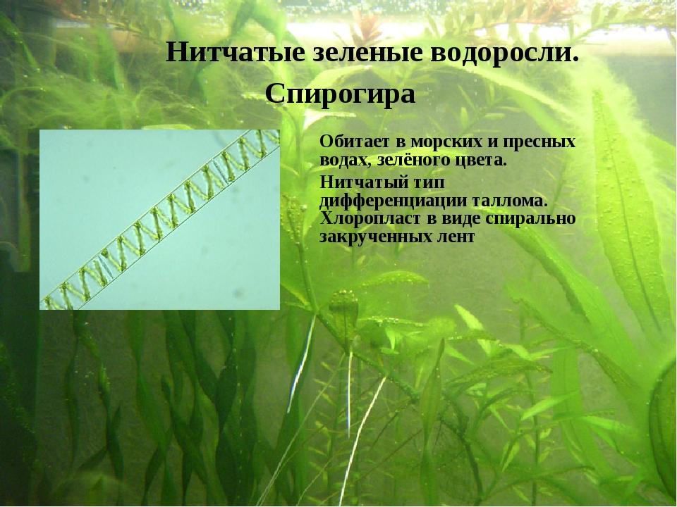 Нитчатые зеленые водоросли. Спирогира Обитает в морских и пресных водах, зел...