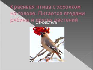 Красивая птица с хохолком на голове. Питается ягодами рябины и других растени
