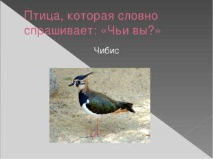 Птица, которая словно спрашивает: «Чьи вы?» Чибис