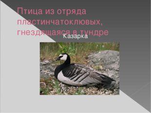 Птица из отряда пластинчатоклювых, гнездящаяся в тундре Казарка