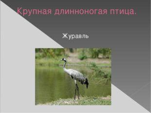 Крупная длинноногая птица. Журавль