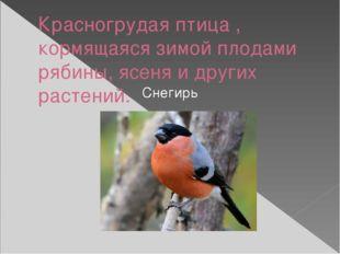 Красногрудая птица , кормящаяся зимой плодами рябины, ясеня и других растений