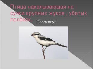 Птица накалывающая на сучки крупных жуков , убитых полёвок. Сорокопут