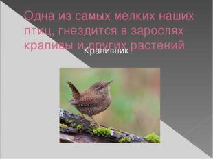 Одна из самых мелких наших птиц, гнездится в зарослях крапивы и других растен