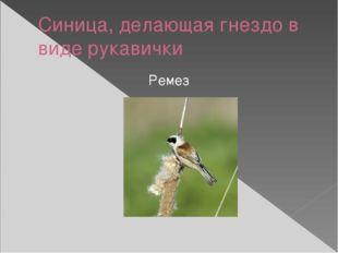 Синица, делающая гнездо в виде рукавички Ремез