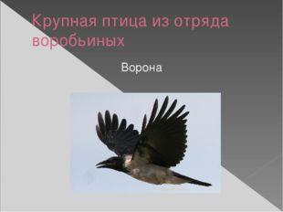 Крупная птица из отряда воробьиных Ворона