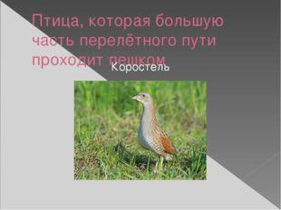 Птица, которая большую часть перелётного пути проходит пешком Коростель