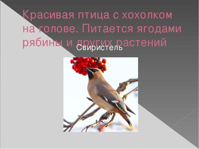 Красивая птица с хохолком на голове. Питается ягодами рябины и других растени...