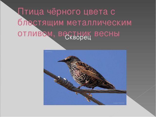 Птица чёрного цвета с блестящим металлическим отливом, вестник весны Скворец