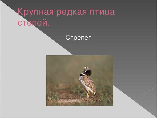 Крупная редкая птица степей. Стрепет