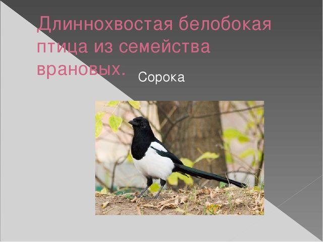 Длиннохвостая белобокая птица из семейства врановых. Сорока