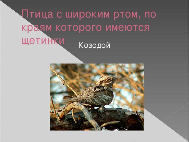 Птица с широким ртом, по краям которого имеются щетинки Козодой