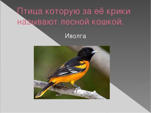 Птица которую за её крики называют лесной кошкой. Иволга