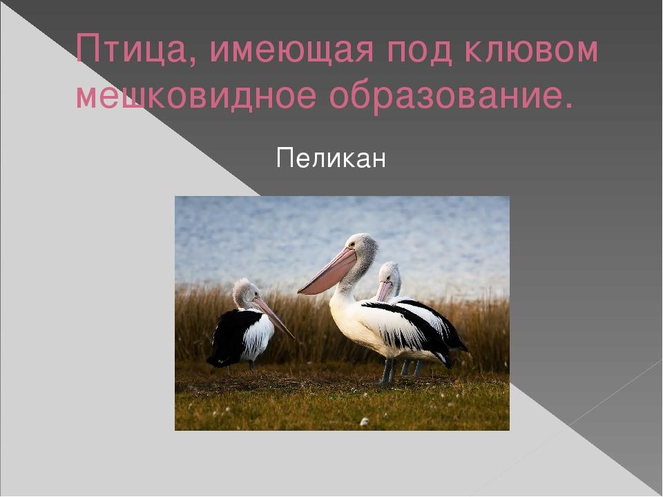 Птица, имеющая под клювом мешковидное образование. Пеликан