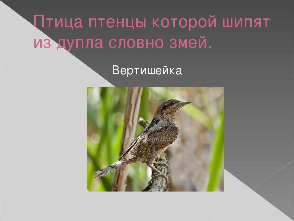 Птица птенцы которой шипят из дупла словно змей. Вертишейка