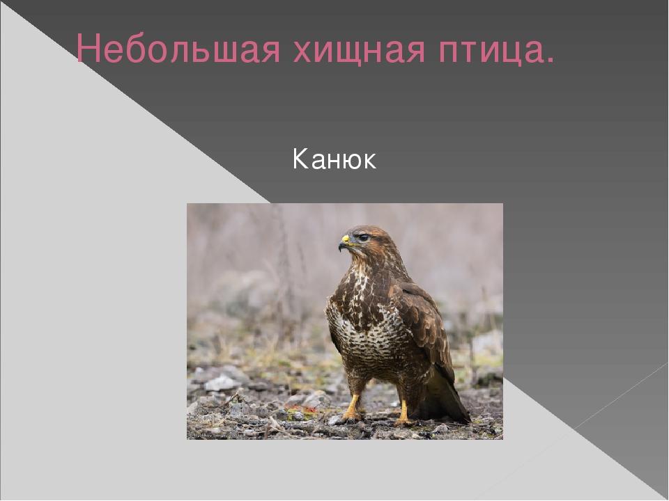 Небольшая хищная птица. Канюк