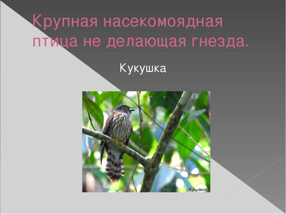 Крупная насекомоядная птица не делающая гнезда. Кукушка