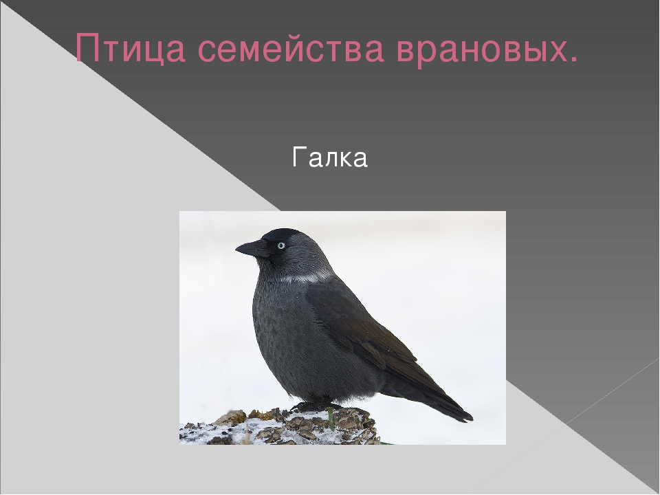 Птица семейства врановых. Галка