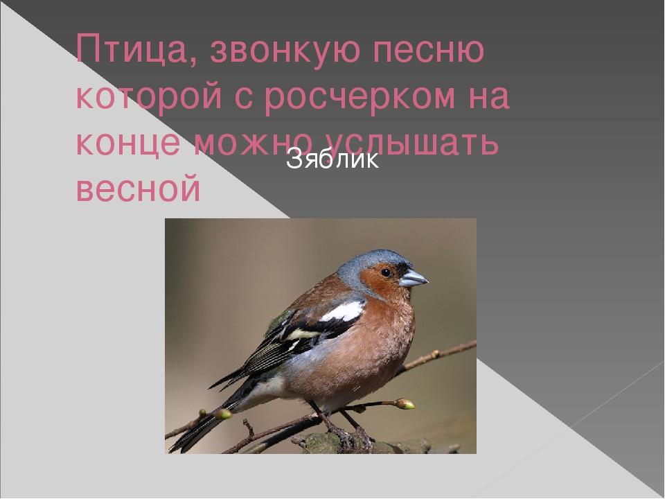 Птица, звонкую песню которой с росчерком на конце можно услышать весной Зяблик