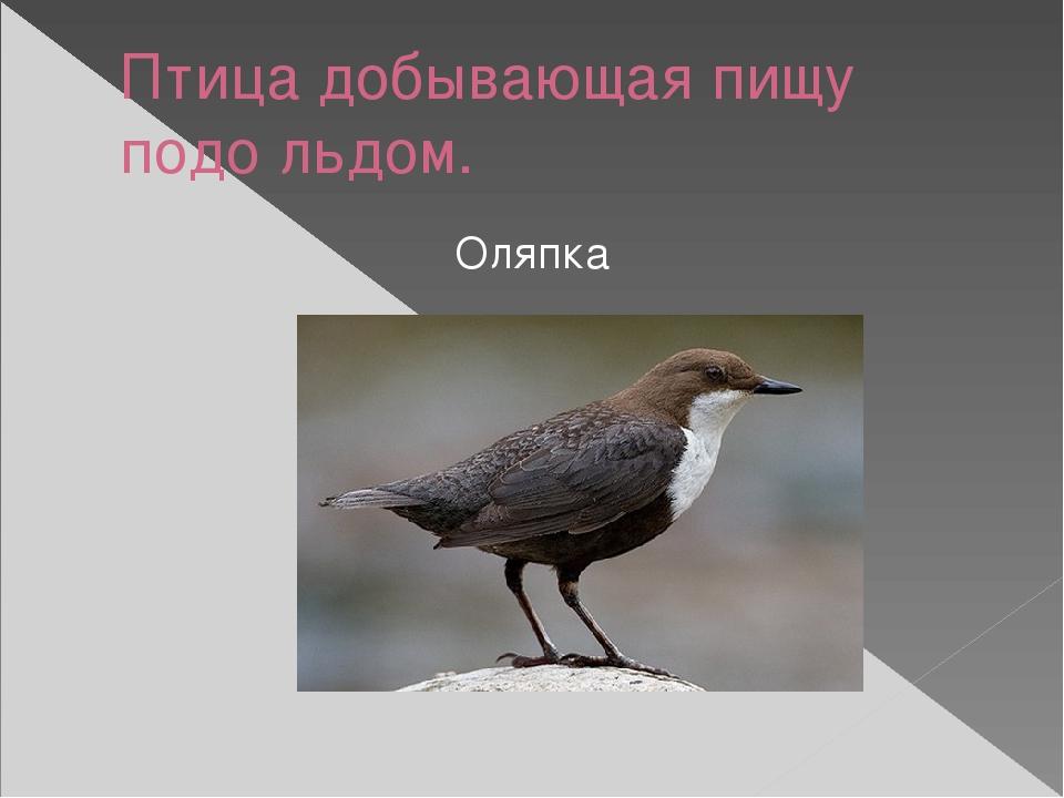 Птица добывающая пищу подо льдом. Оляпка
