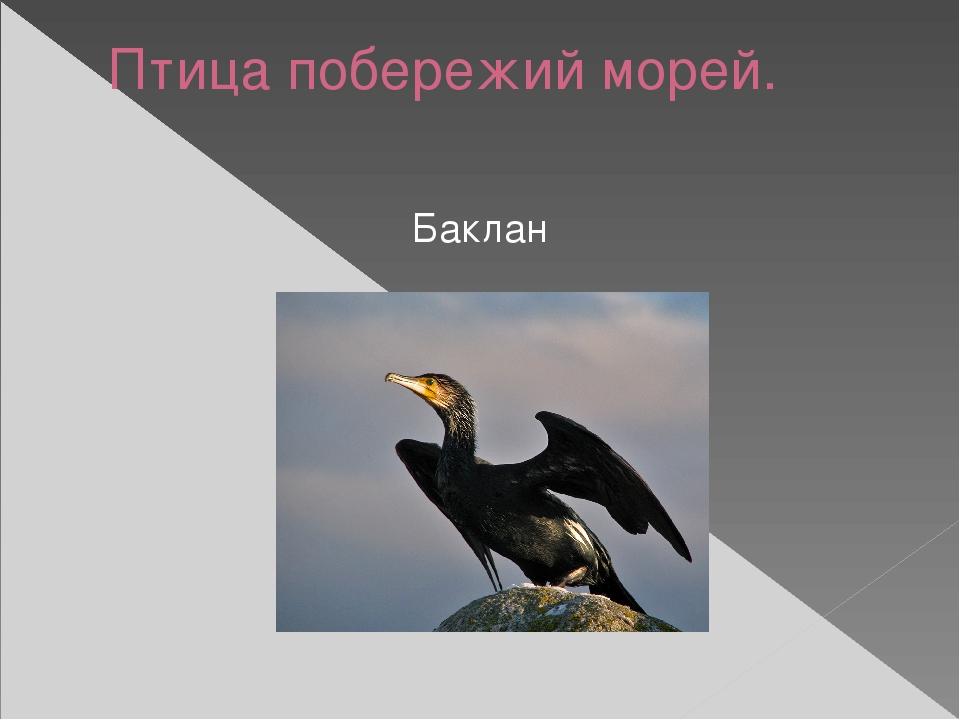 Птица побережий морей. Баклан
