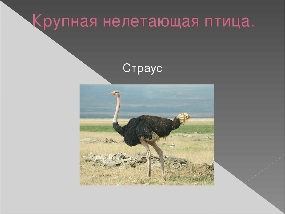 Крупная нелетающая птица. Страус