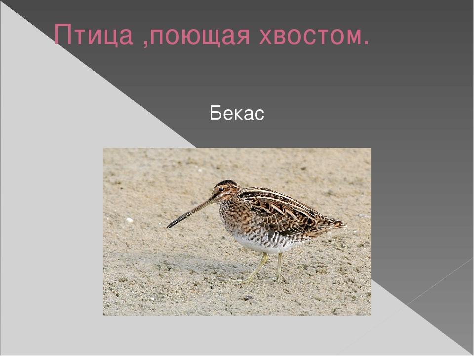 Птица ,поющая хвостом. Бекас