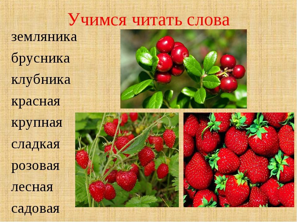 Учимся читать слова земляника брусника клубника красная крупная сладкая розов...