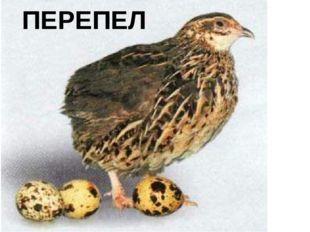 ПЕРЕПЕЛ