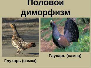Половой диморфизм Глухарь (самка) Глухарь (самец)
