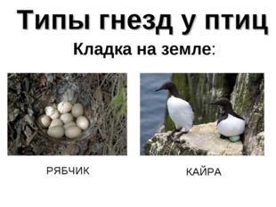 Типы гнезд у птиц Кладка на земле: РЯБЧИК КАЙРА